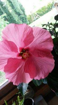 Portrait de hibiscus74